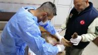 Tarsus Belediyesinin Tedavi  Ettiği Yaralı Köpek Sağlığına Kavuştu