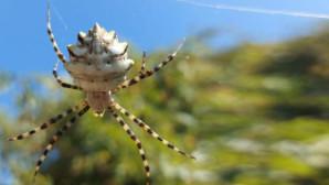 Kendi eşini yiyerek besleniyor! Zehir deposu örümcek Türkiye'de ortaya çıktı