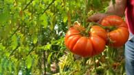Ata tohumundan üretilen domateslerin her biri 1 kilo ağırlığına geliyor